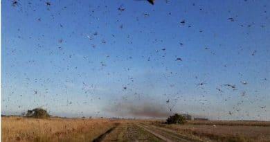 Nuvem de gafanhotos pode chegar ao sul do Brasil.